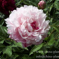 pink herbaceous peony goldfish in pink pool
