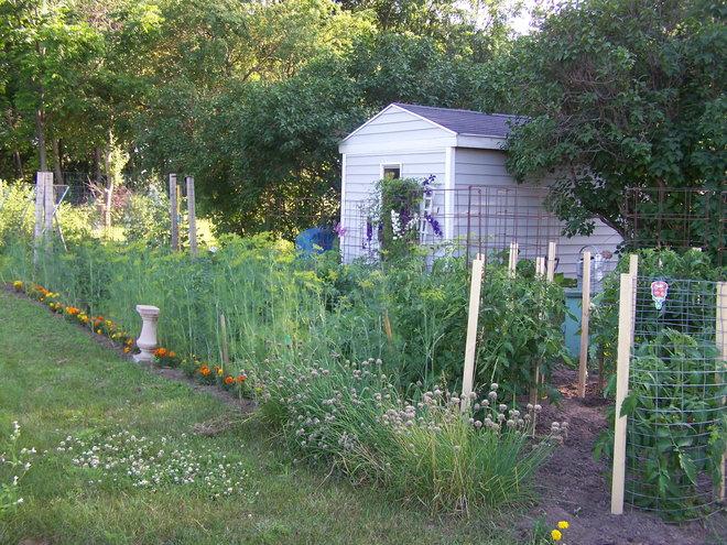 Summer garden. Dill is ready.