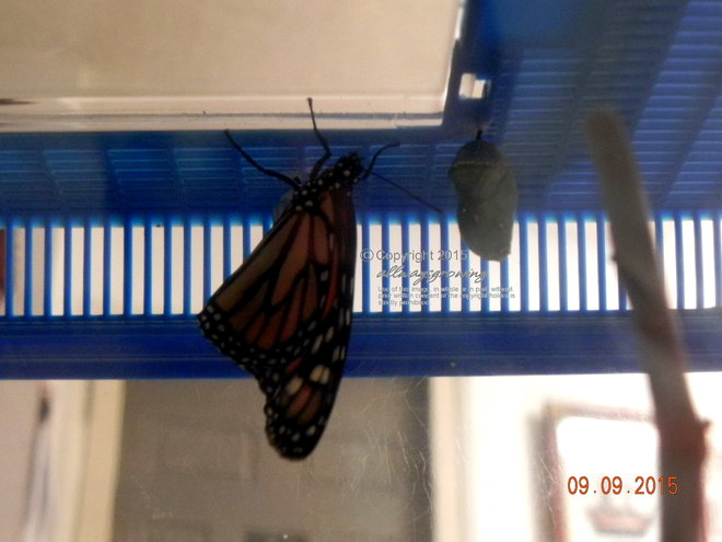 Late Summer/early Fall was a great time for butterflies to visit the yard. Here's a monarch that we helped raise & hatch.