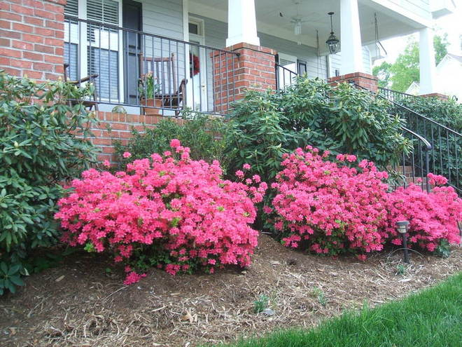 Azaleas in full bloom as border lilies begin to peek out of the mulch.