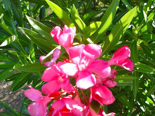 Oleander blossom.