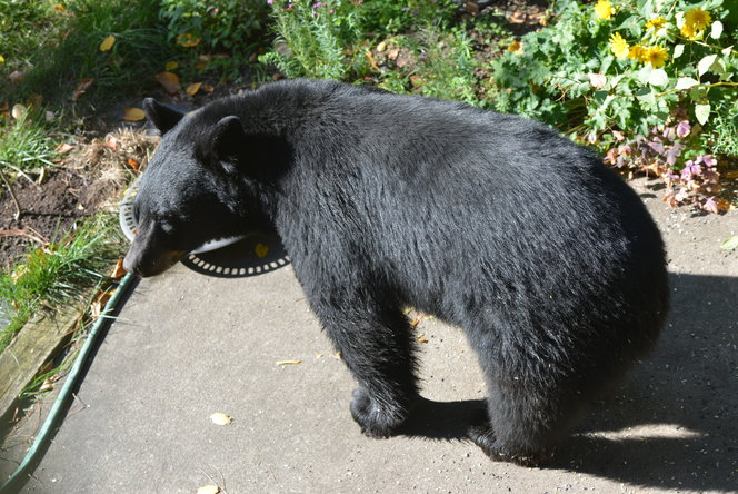 The black bear stopped by for a drink.