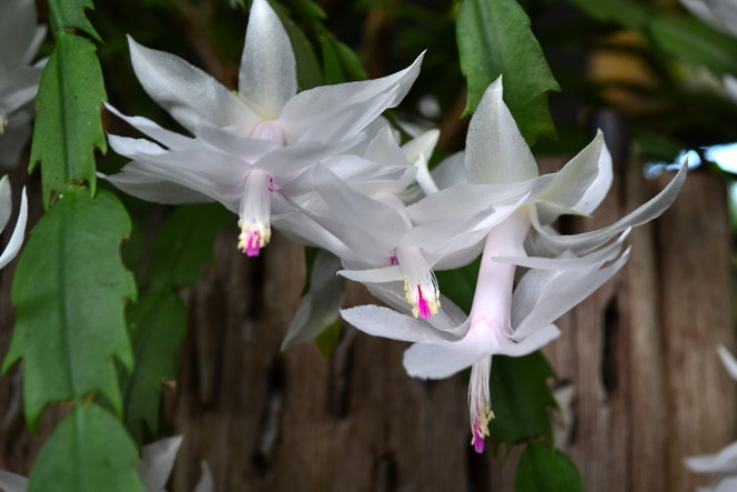 Close up White Christmas Cactus flowers