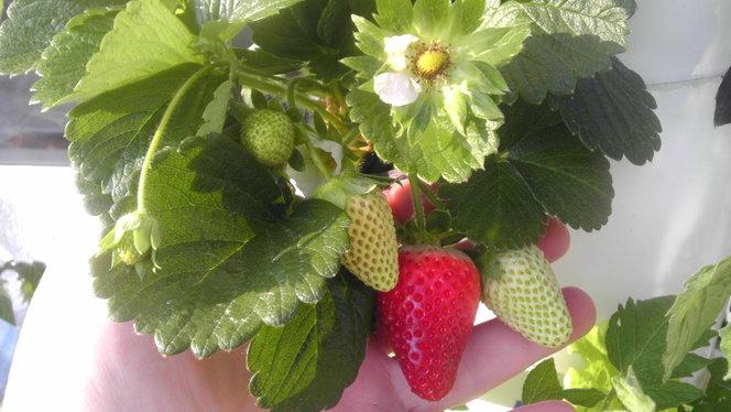 Tower Garden strawberries.