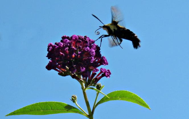 Clearwing Moth over Buddleja davidii