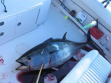122 lbs bft caught west atlantis at 6:00 am 6/15/09. conditions 4-6 ft winds 10-15 NE/E