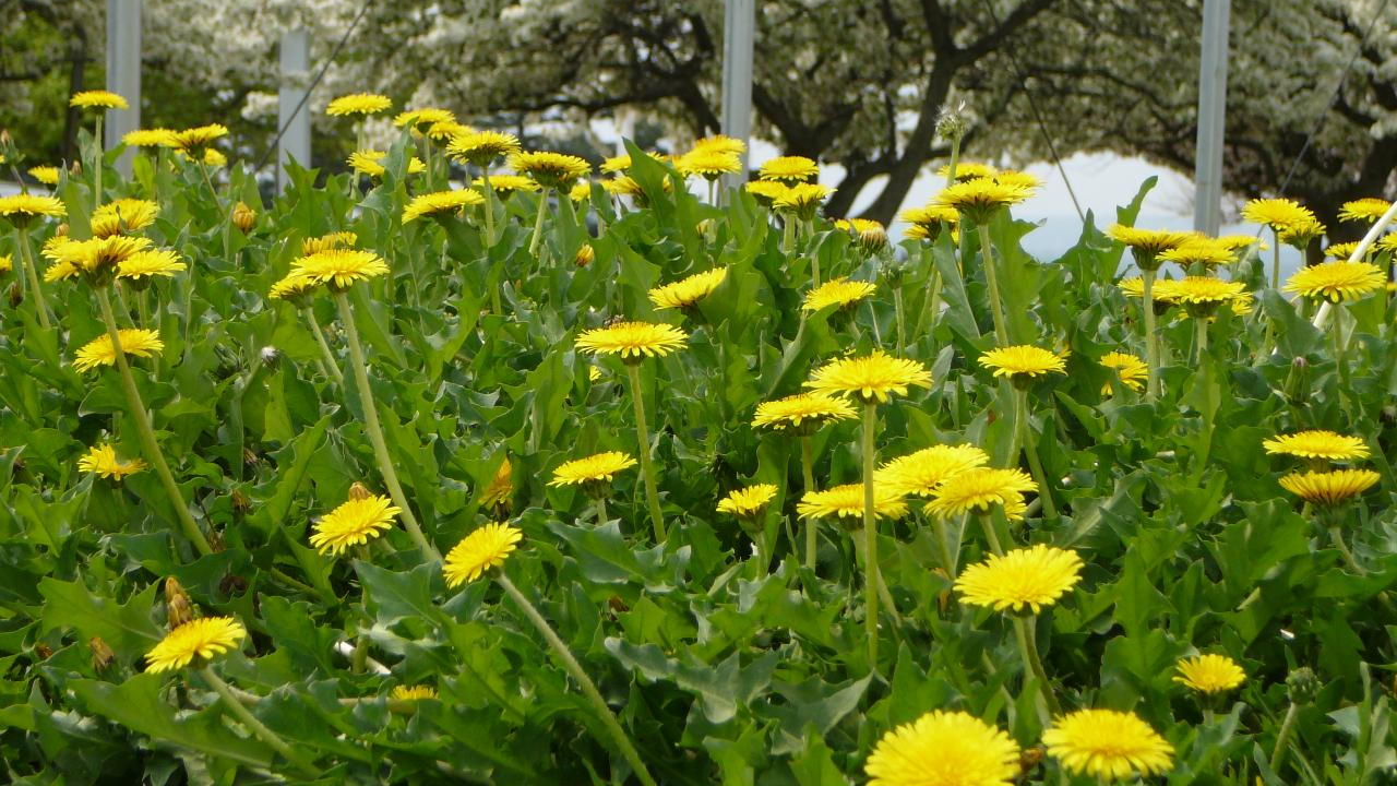 Ford to use dandelion stems in rubber components