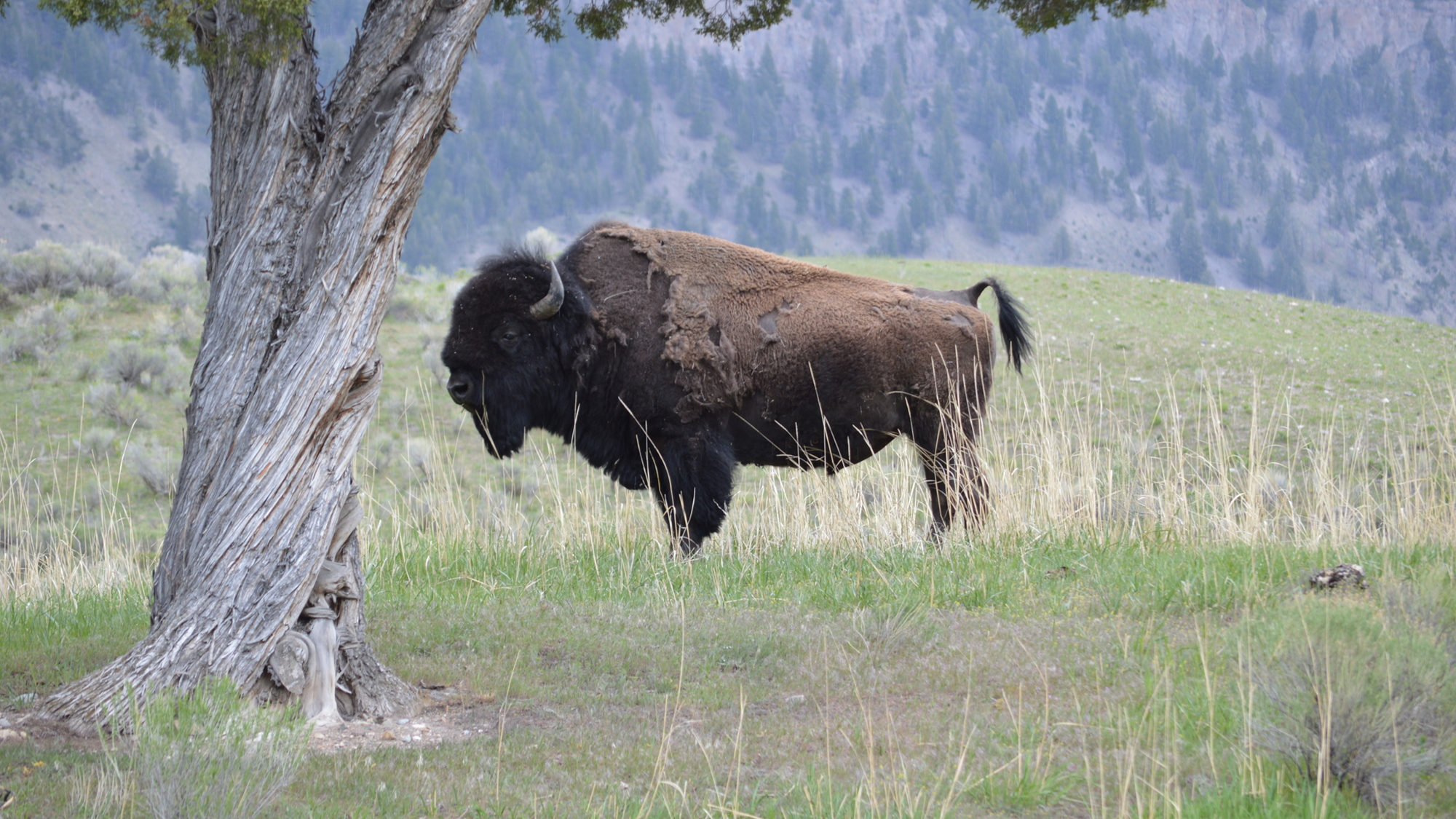 Scenes from Yellowstone National Park, May 2015   [photo: John C. Briggs]